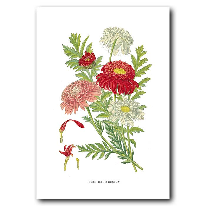Fine art print for sale. Pyrethrum Daisy