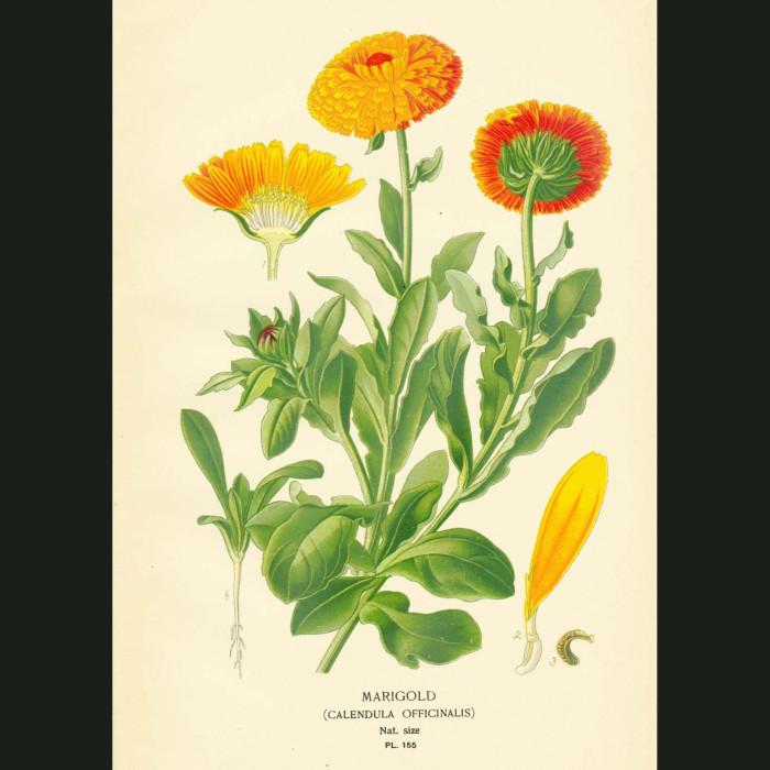 Fine art print for sale. Common Marigold