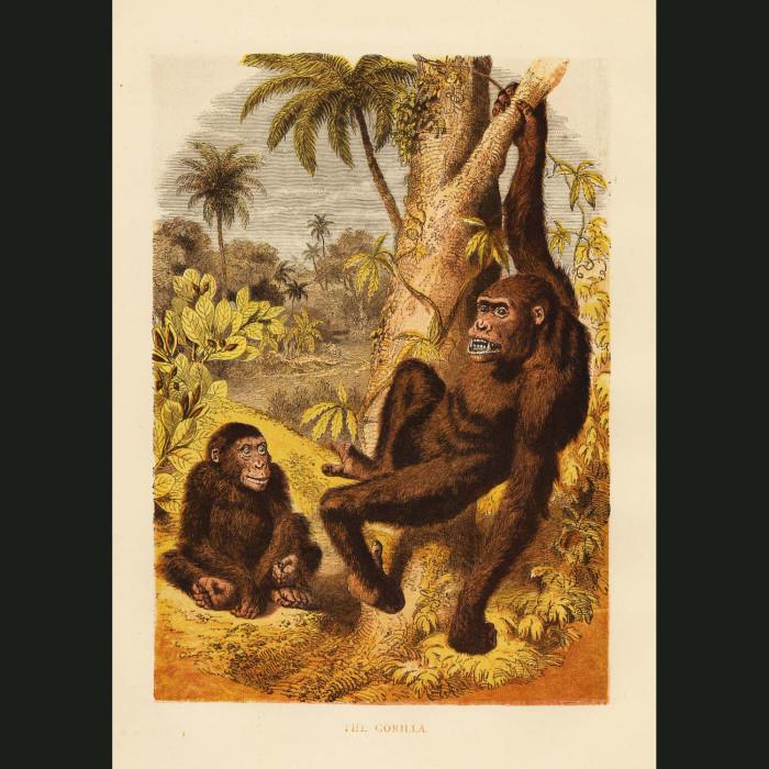 Fine art print for sale. Gorilla