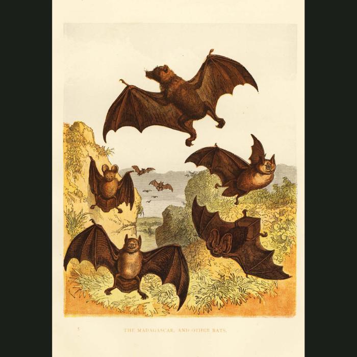 Fine art print for sale. Madagascar Bats