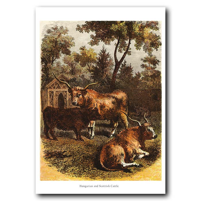 Fine art print for sale. Hungarian And Scottish Cattle