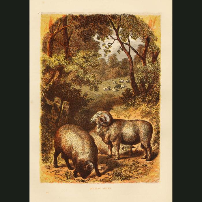 Fine art print for sale. Merino Sheep