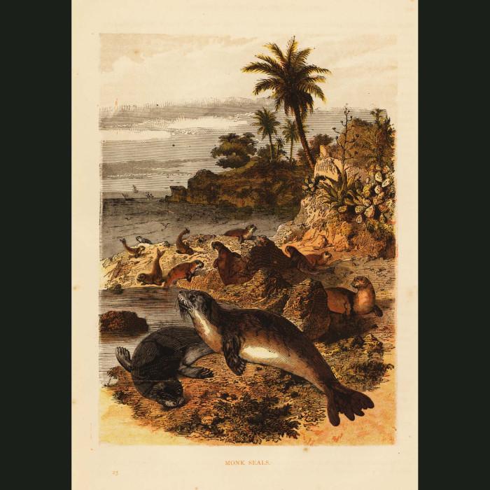 Fine art print for sale. Monk Seals