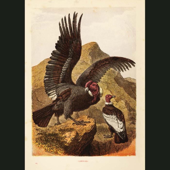 Fine art print for sale. South American Condors