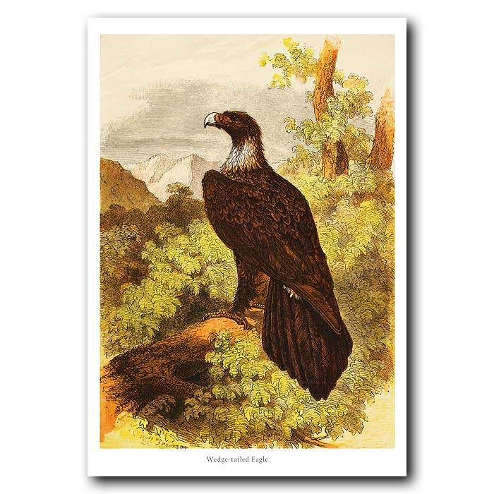 Fine art print for sale. Wedge-Tailed Eagle