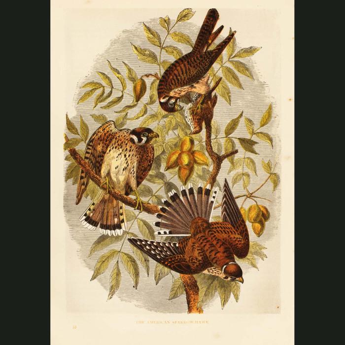 Fine art print for sale. American Sparrow Hawks