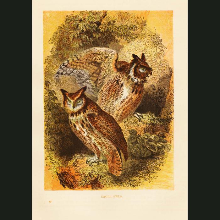 Fine art print for sale. Eagle Owl
