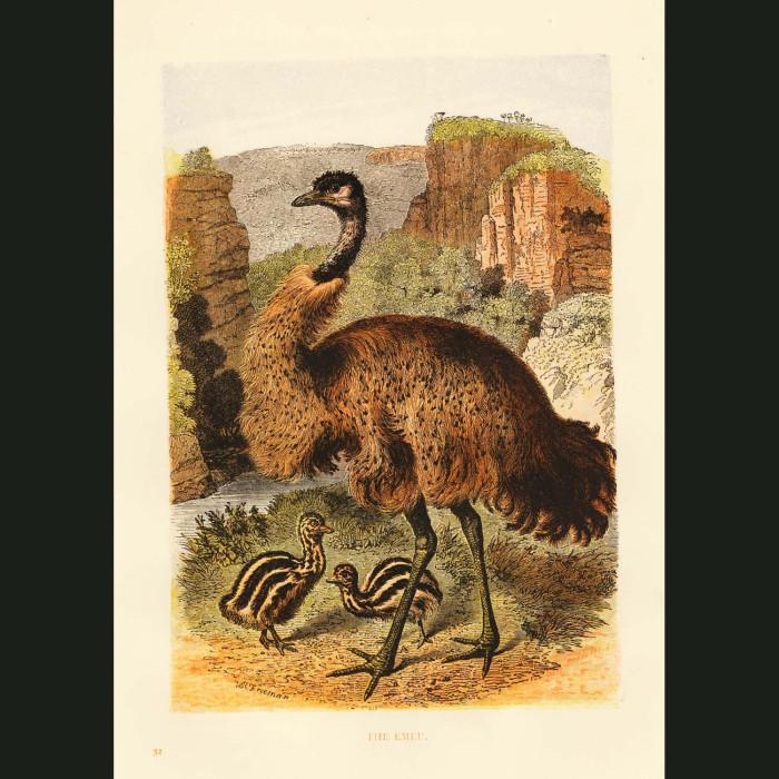 Fine art print for sale. Emu And Chicks