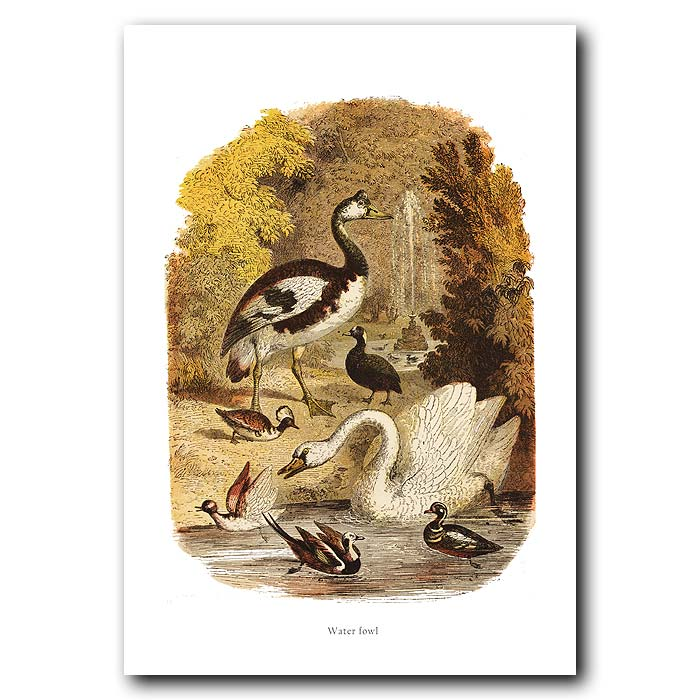 Fine art print for sale. Swan And Ducks