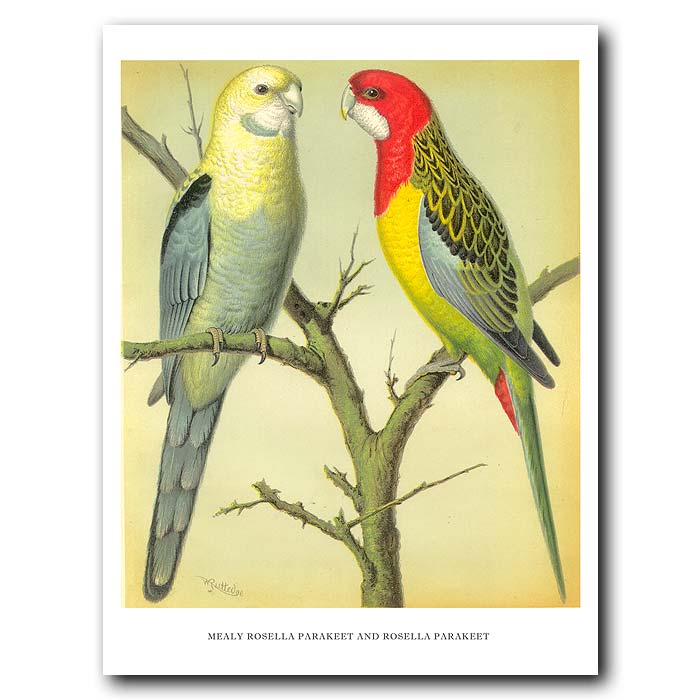 Fine art print for sale. Mealy Rosella & Rosella Parakeets