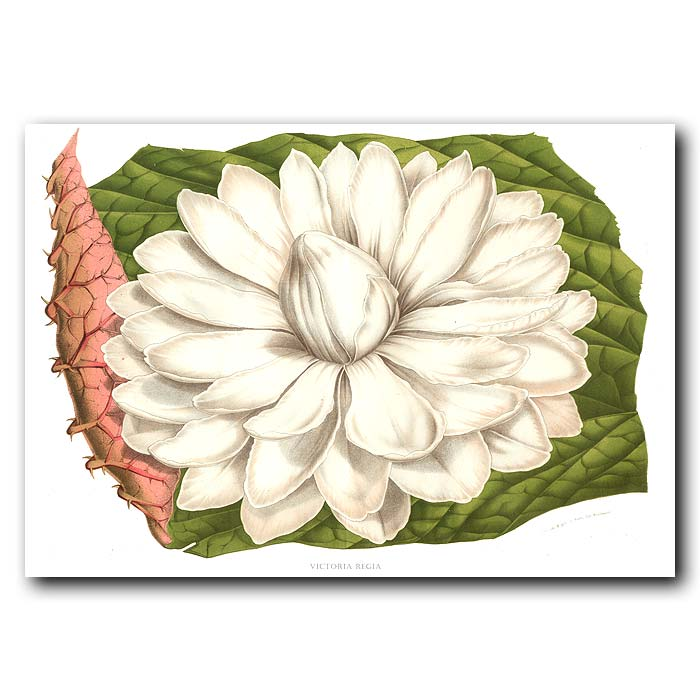 Fine art print for sale. Giant White Water Lily