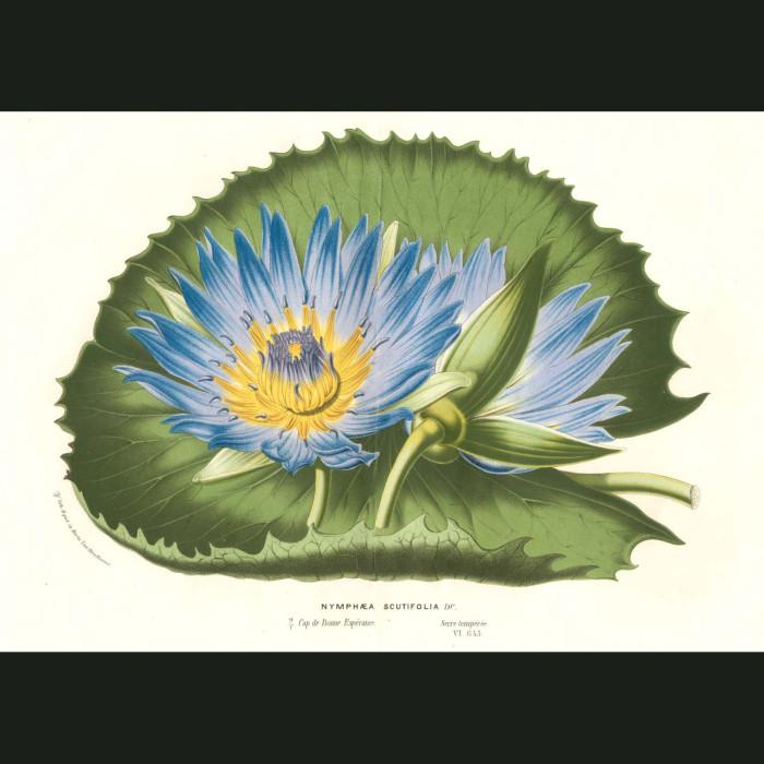 Fine art print for sale. Blue Lotus Flower (Nymphaea Thermalis)