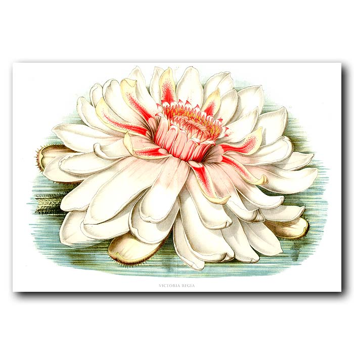 Fine art print for sale. Giant Water Lily And Water
