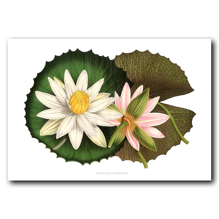 Fine art print for sale. Thermal Lotus Flower (Nymphaea Thermalis)