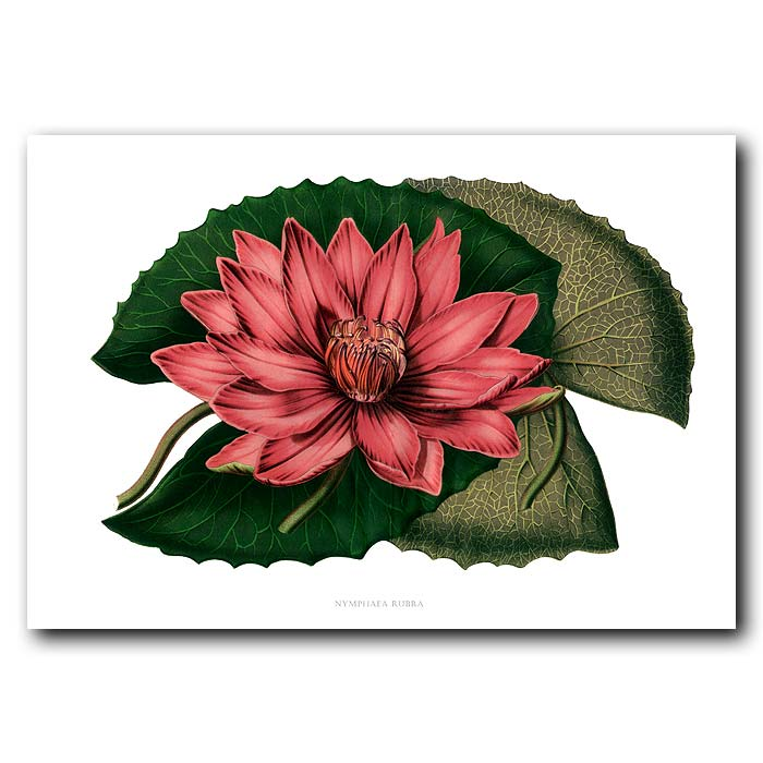 Fine art print for sale. Water Lily  (Nymphaea Rubra)