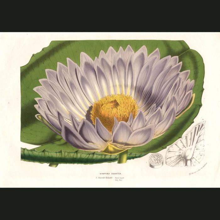 Fine art print for sale. Australian Water Lily (Nymphaea Gigantea)