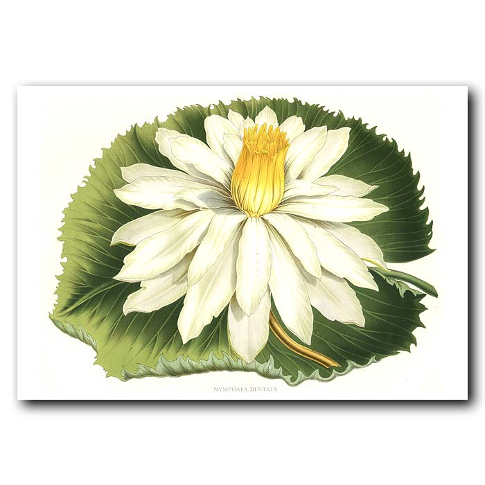 Fine art print for sale. Night Blooming Lotus Flower (Nymphaea Dentata)
