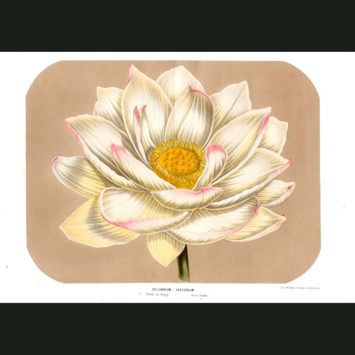 Fine art print for sale. Egyptian Lotus Flower (Nelumbium Speciosum)