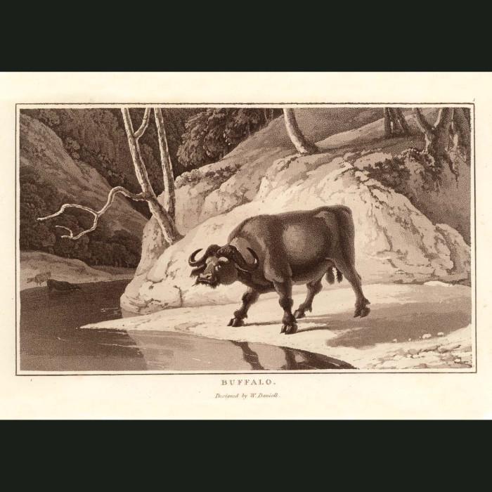 Fine art print for sale. Buffalo At A Waterhole
