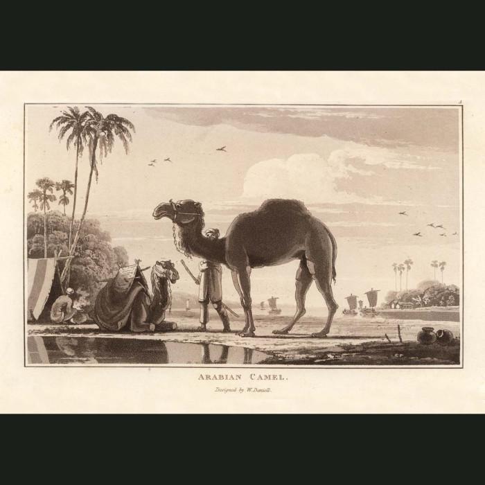 Fine art print for sale. Arabian Camel At An Oasis