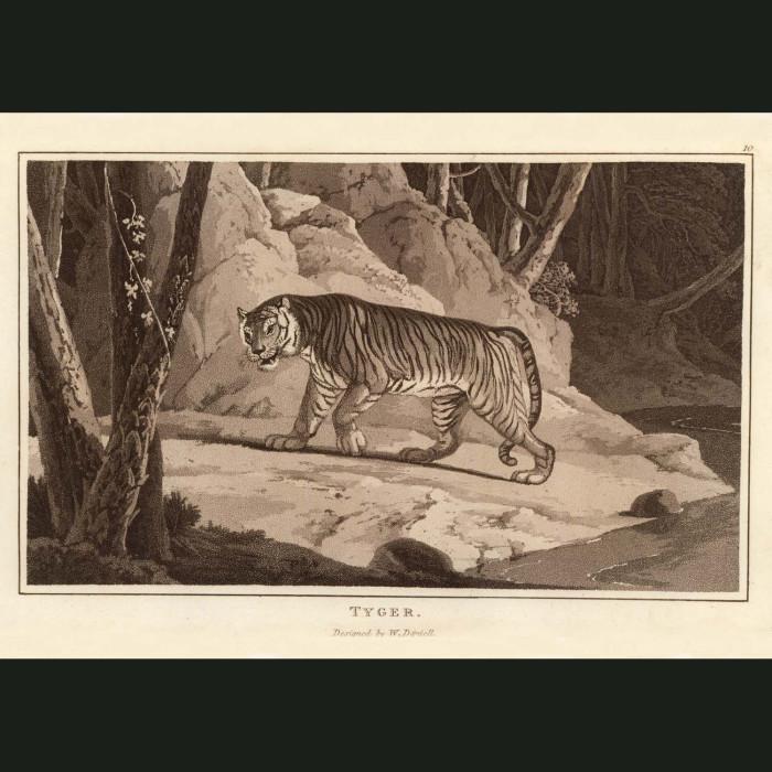 Fine art print for sale. Tiger In The Jungle