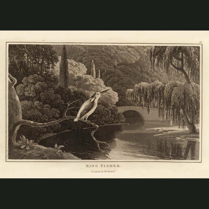 Fine art print for sale. Kingfisher Near A River