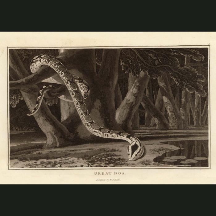 Fine art print for sale. Boa Constrictor