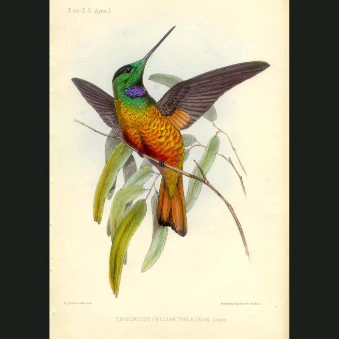 Fine art print for sale. The stunning Blue-throated Star Frontlet Hummingbird (Trochilus helianthea)