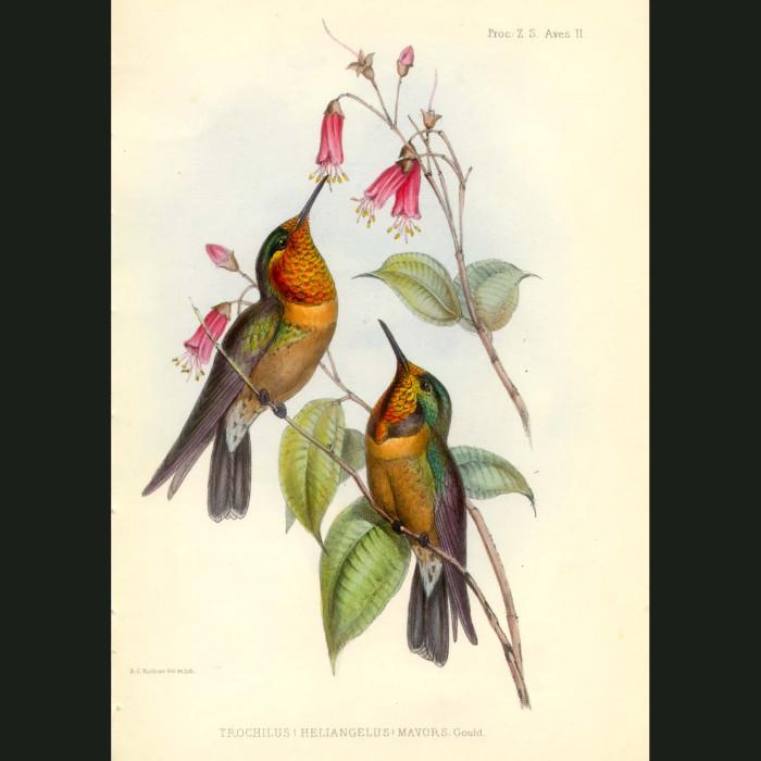 Fine art print for sale. Orange-throated Sun Angel Hummingbird (Trochilus heliangelus)