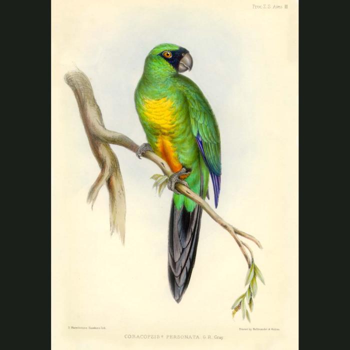 Fine art print for sale. Lord Derby's Parrot (Corocopsis personata)
