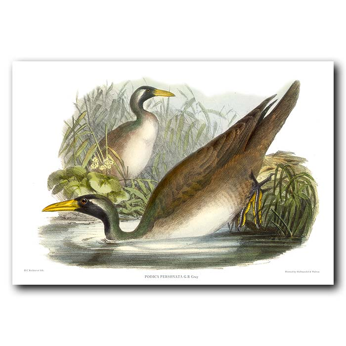 Fine art print for sale. Masked Finfoot birds (Podica personata)
