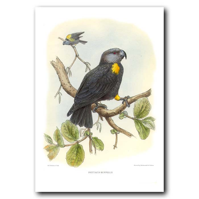 Fine art print for sale. Ruppell's Parrot (Psittacuc ruppellii)