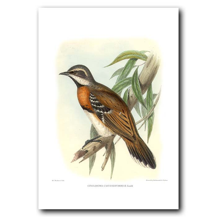 Fine art print for sale. Chestnut-breasted Quail Thrush (Cinclosoma castaneothorax)