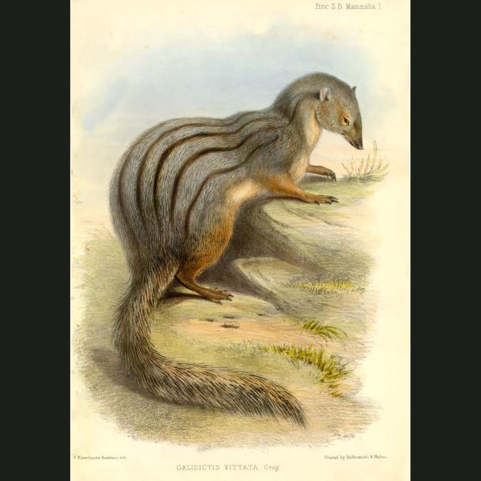 Fine art print for sale. Mongoose (Galidictis vittata)