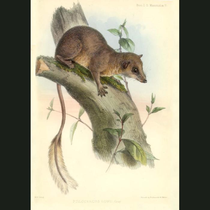 Fine art print for sale. Pen-tailed Tree Shrew (Ptilocercus lowii)