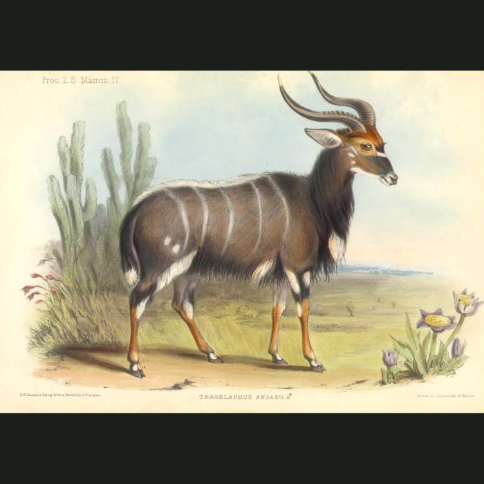Fine art print for sale. Nyala (tragelaphus angasii)