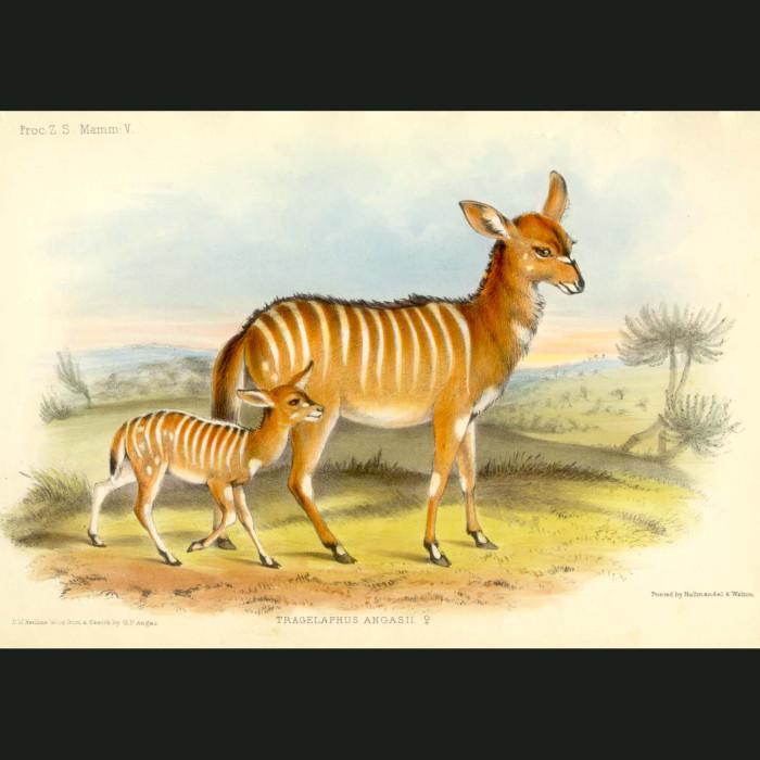 Fine art print for sale. Nyala female (tragelaphus angasii)