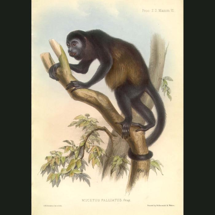 Fine art print for sale. Mantled Howler Monkey (Mycetes palliatus)
