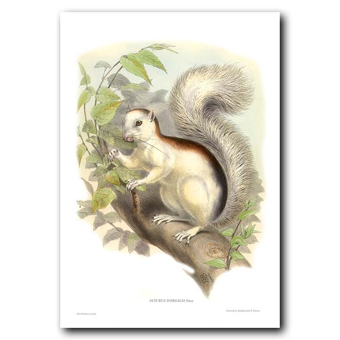 Fine art print for sale. Black-Backed Squirrel