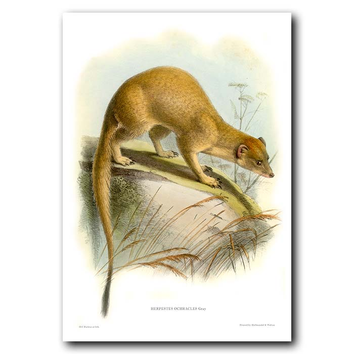 Fine art print for sale. Abyssinian Mongoose (Herpestes ochracles)