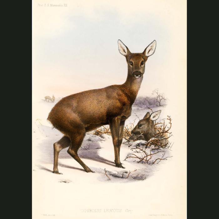 Fine art print for sale. Roe deer (Capreolus leucotis)
