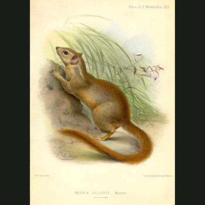 Fine art print for sale. Tree Shrew (Tupaia elliotti)