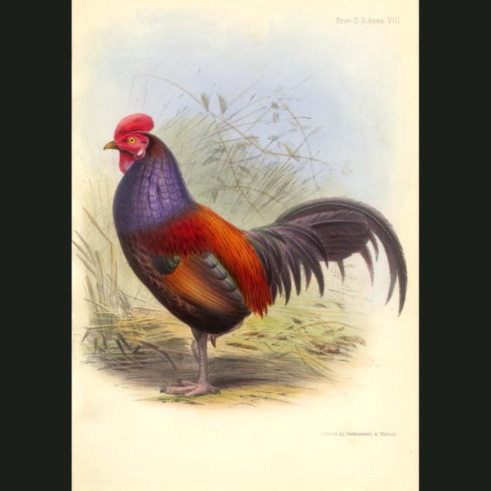 Fine art print for sale. Jungle Fowl Hen (Gallus temminckii)