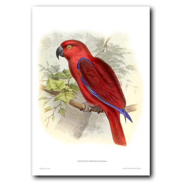 Fine art print for sale. Cornelia's Eclectus Parrot (Eclectus cornelia)